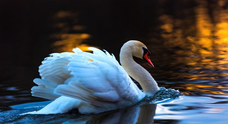 Celtic zodiac sign swan meaning