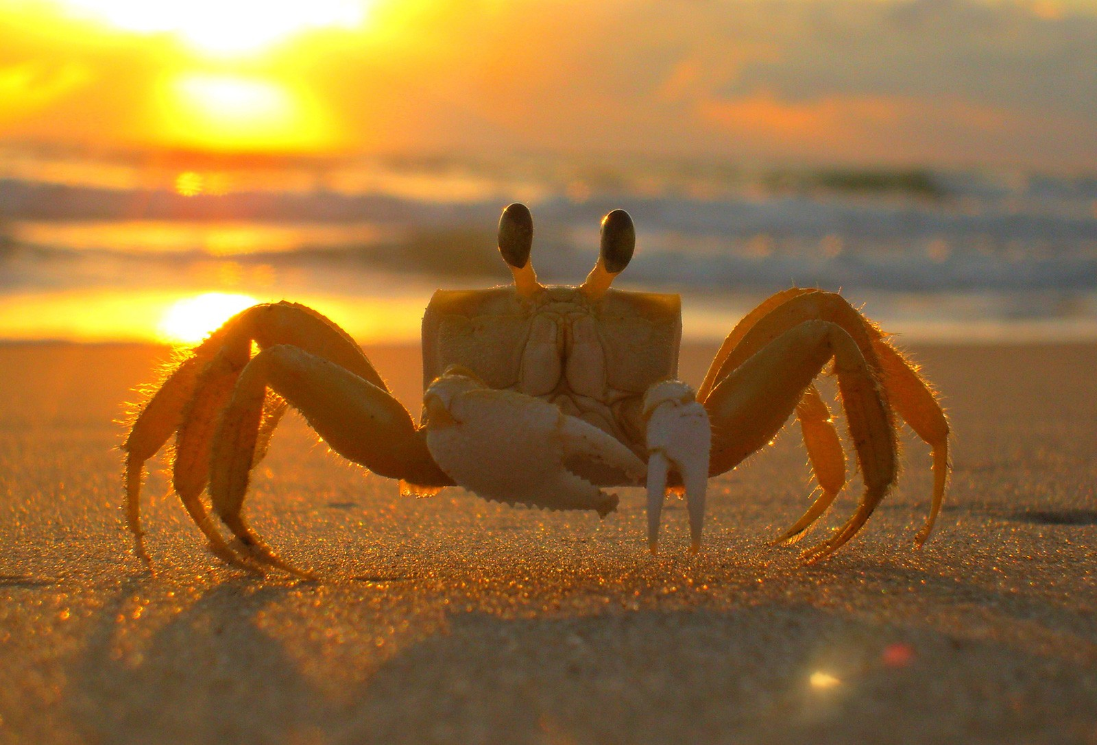 Crab Animal Symbolism And Crab Meanings On Whats Your Sign