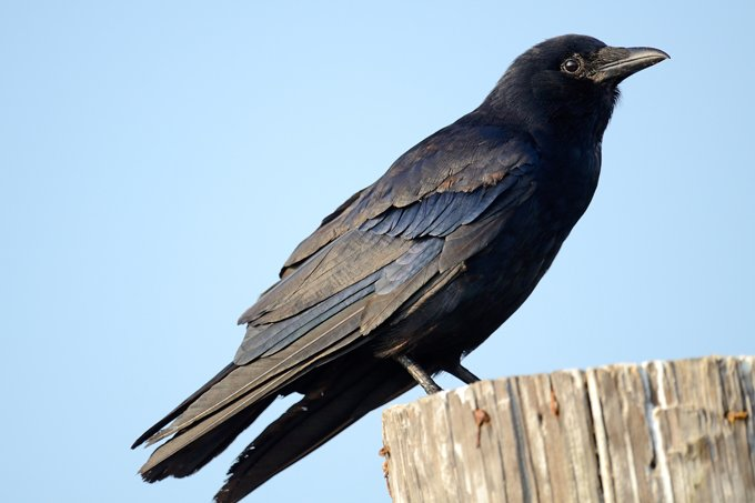 Crow Symbolism And Deeper Meaning Of The Crow On Whats Your Sign