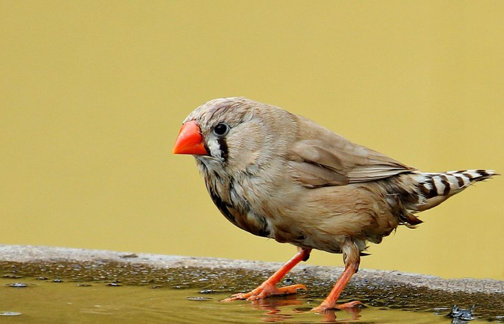 Symbolic Finch Meanings And Insights About Finches On Whats Your Sign