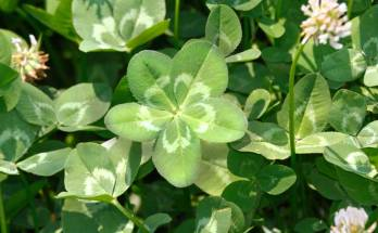 five leaf clover meaning