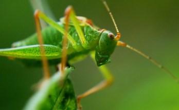 grasshopper totem and grasshopper meaning