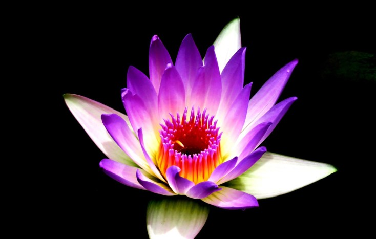 Lotus Flower Meanings And Lotus Symbolism On Whats Your Sign