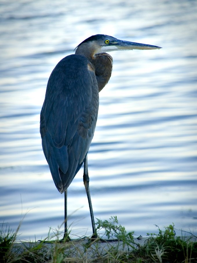 Symbolic Meaning Of The Heron On Whats Your Sign