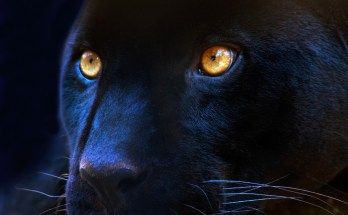panther tattoo ideas and panther meaning