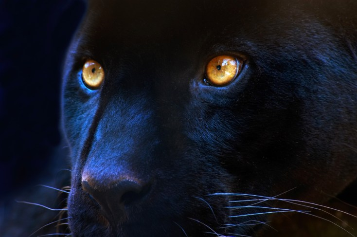 Panther Animal Totem And Panther Meaning On Whats Your Sign