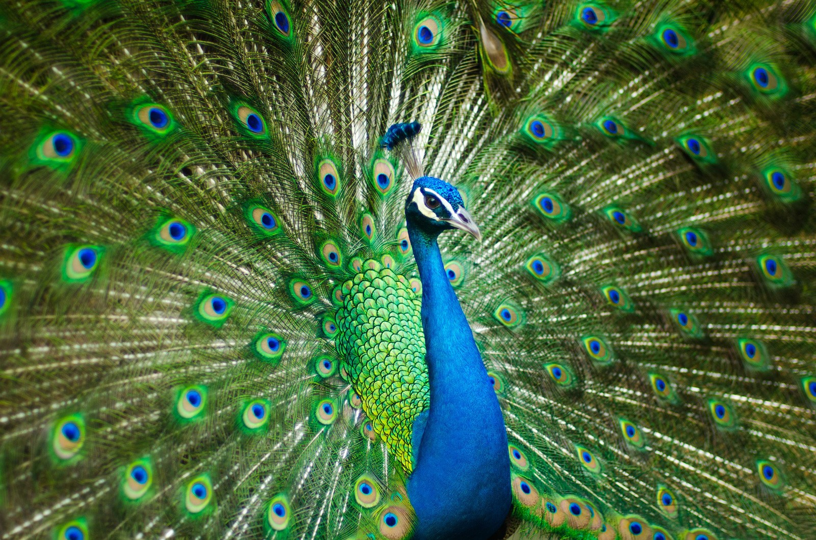 Peacock Symbolism and Peacock Meaning on Whats-Your-Sign