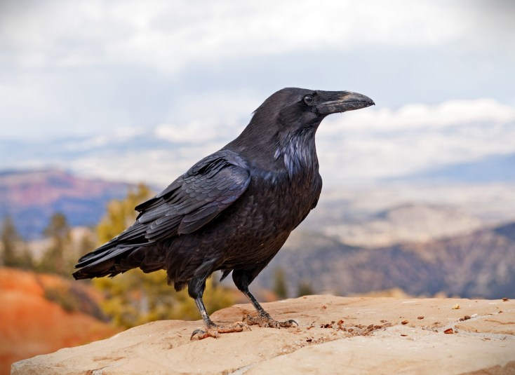 Raven Symbolism And Raven Meaning On Whats Your Sign
