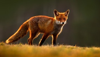 Fox Animal Symbolism and Fox Totem Meanings on Whats-Your-Sign