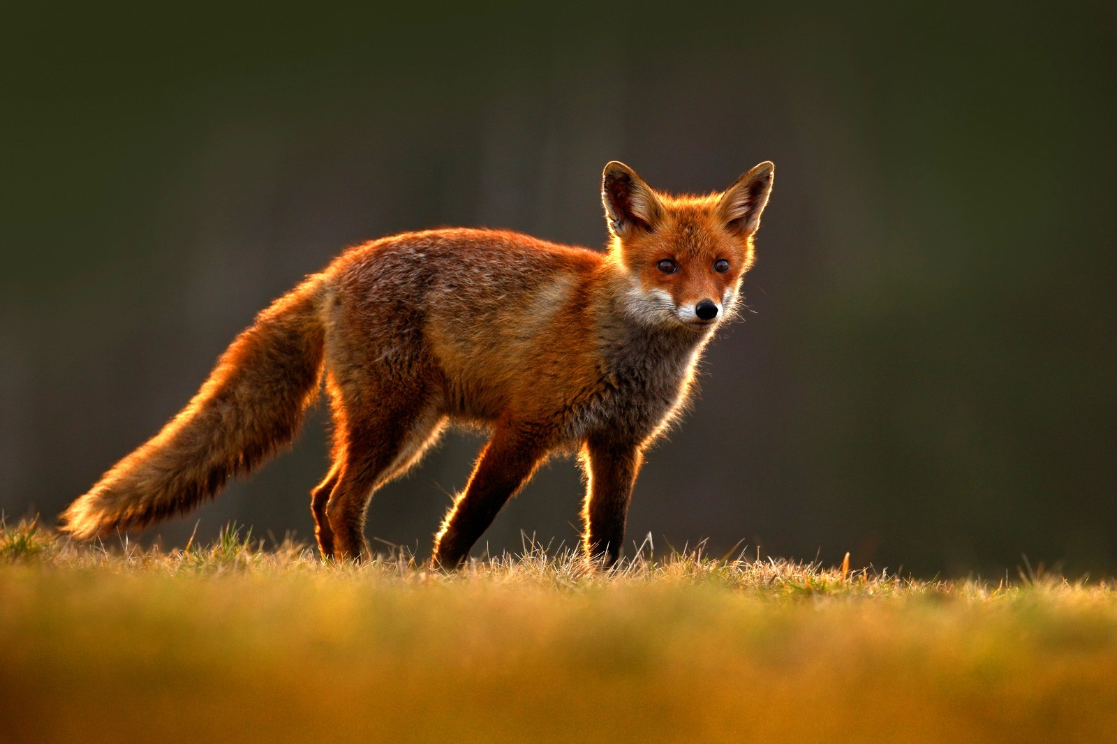 Red Fox Symbolism And Meaning On Whats Your Sign