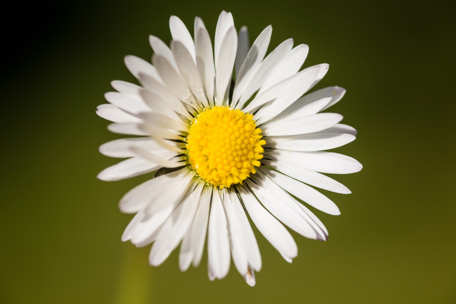 Daisy meaning whats your sign daisy meaning izmirmasajfo