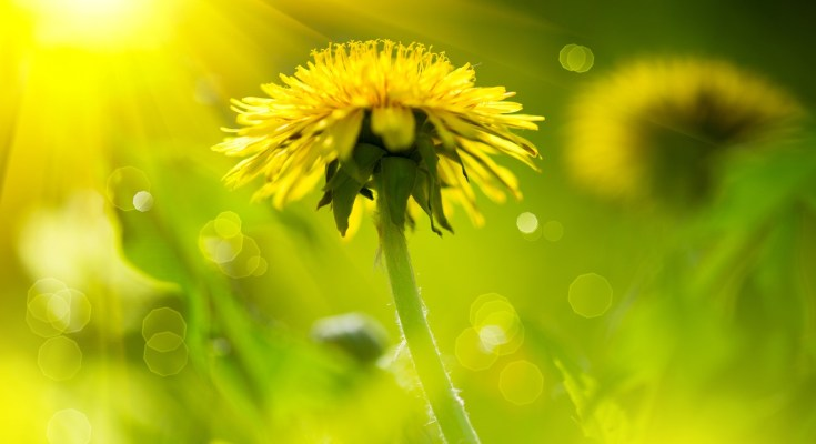 Dandelion Meanings