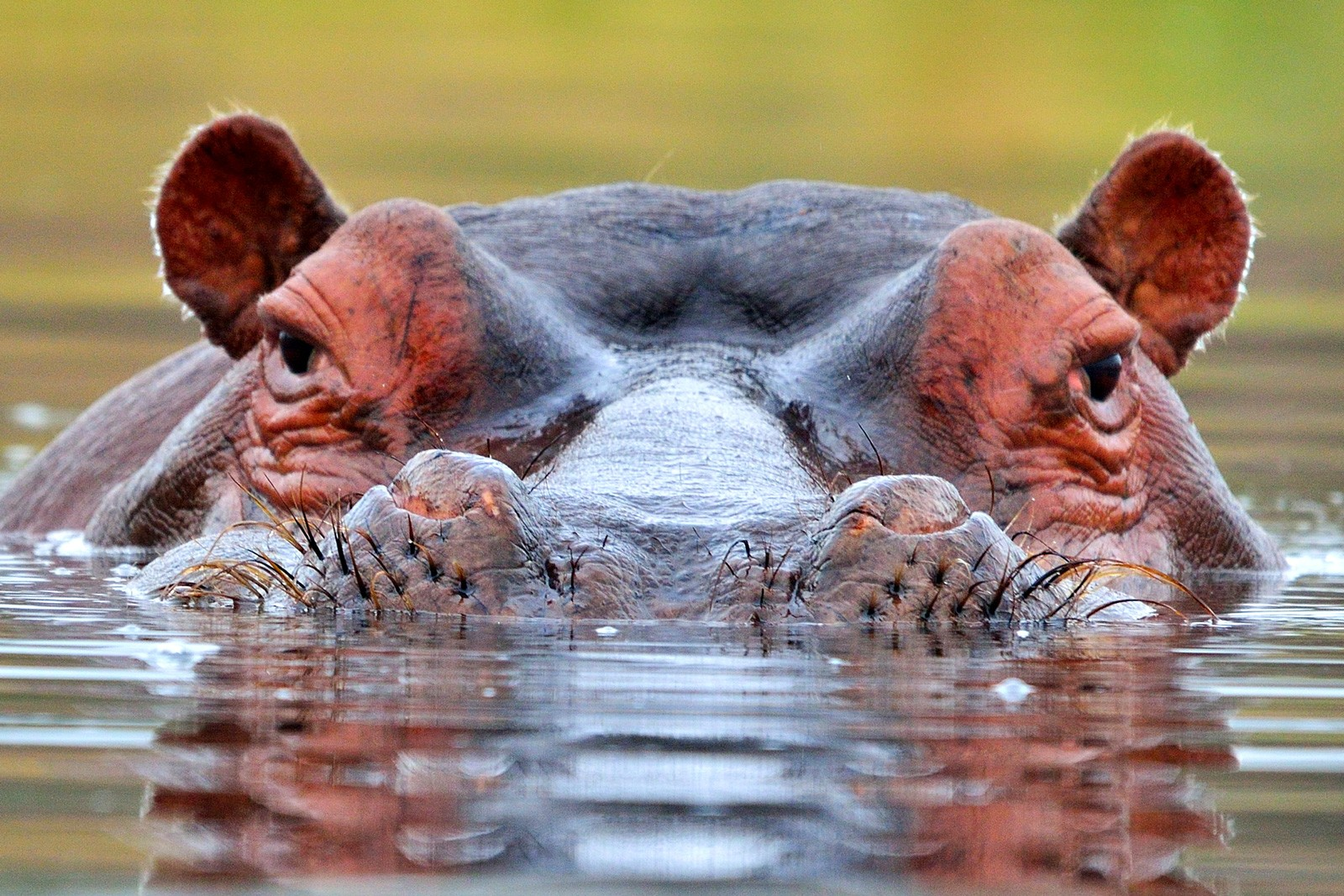 Symbolic Hippopotamus Meaning On Whats Your Sign