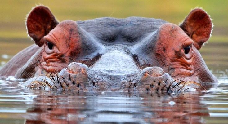 Hippopotamus Meaning