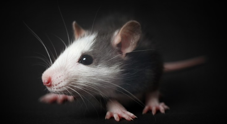 Symbolic Meaning Of Rats And Rat Wisdom On Whats Your Sign