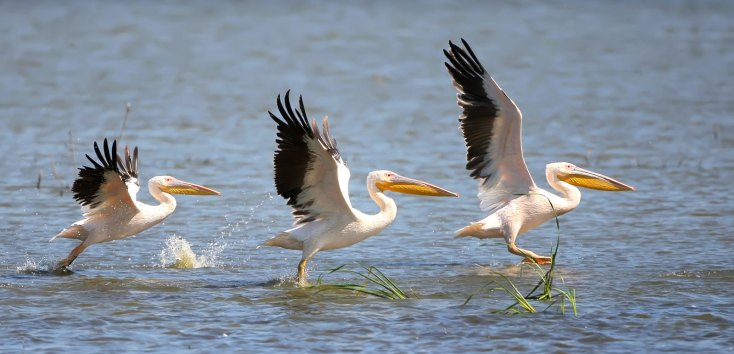 Symbolic Pelican Meaning And Pelican Totem On Whats Your Sign