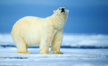 symbolic polar bear facts and polar bear meaning