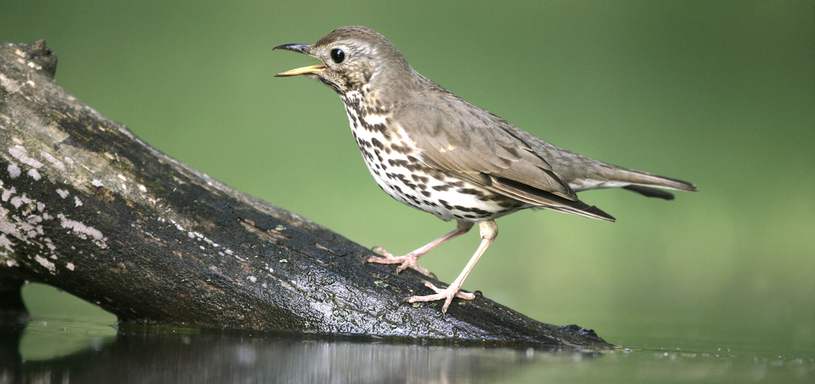 Thrush Bird Symbolism And Thrush Meaning On Whats Your Sign