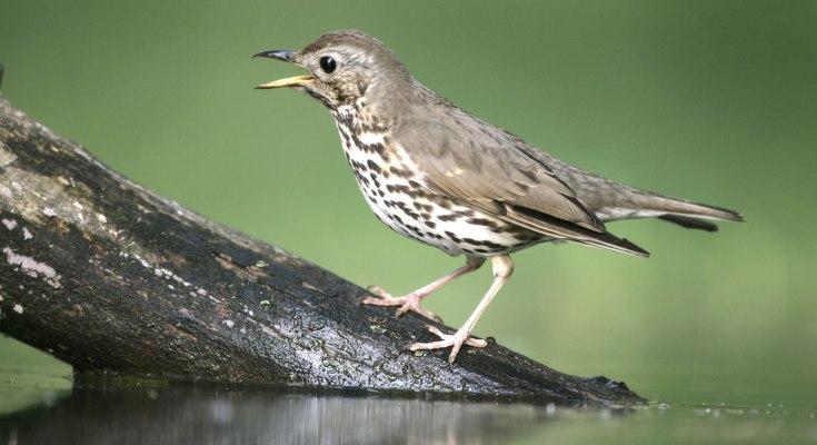 thrush bird symbolism
