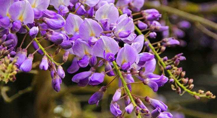 wisteria meaning