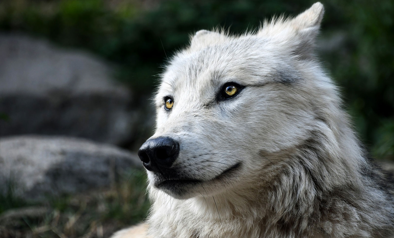 Wolf Tattoo Meaning Wolf Totem Meaning Whats Your Signcom