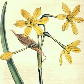 0d5198ddf Chinese flower meaning narcissus - Whats-Your-Sign.com