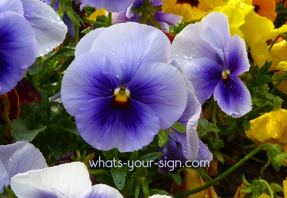 Symbolic Violet Meaning and Flower Meaning on Whats-Your