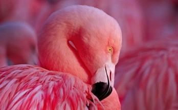 Flamingo Totem Meaning and Flamingo FactsFlamingo Totem Meaning and Flamingo Facts