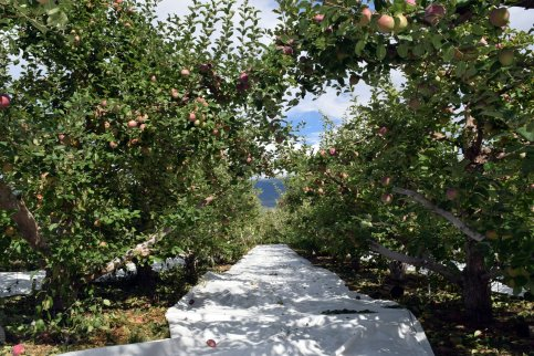 Reflective mats bring sunlight to the fruit from below