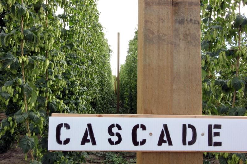 Cascade Hops, Square One Hop Growers