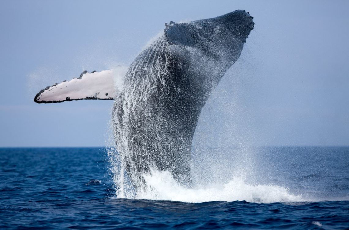 Humpback whale dramatically breaching the water - Whale Watching Tour