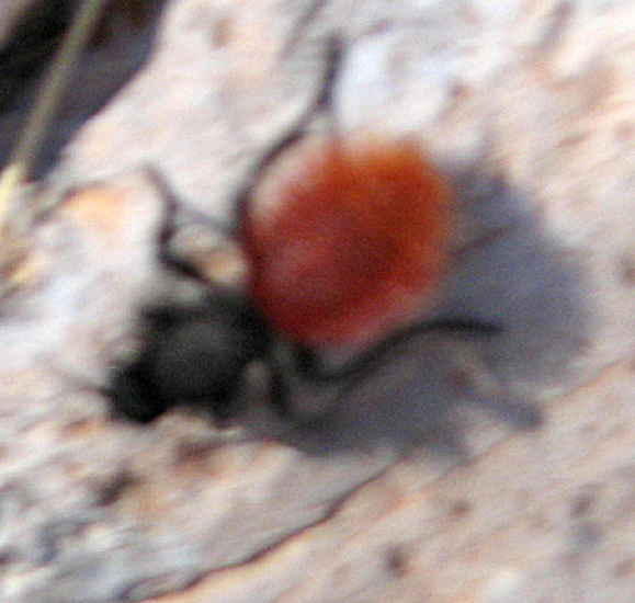 Adult Male Dasymutilla Sp A Velvet Ant