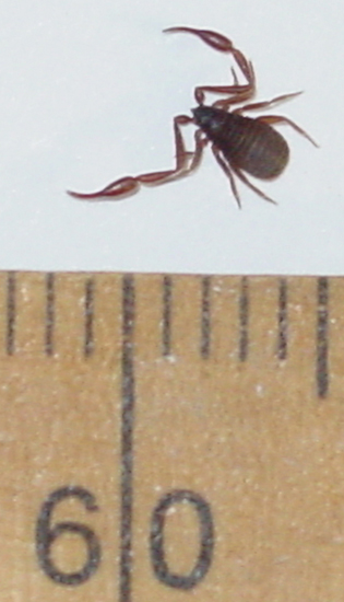 Pseudoscorpions Archives  Page 7 of 14  Whats That Bug