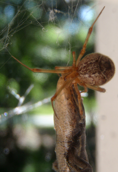Common House Spider feasts on Skink  Whats That Bug