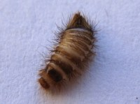 Carpet Beetle Larva: Can it be Related to Asthma flare ...