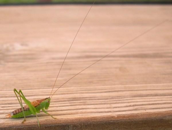 StraightLanced Meadow Katydid What39s That Bug