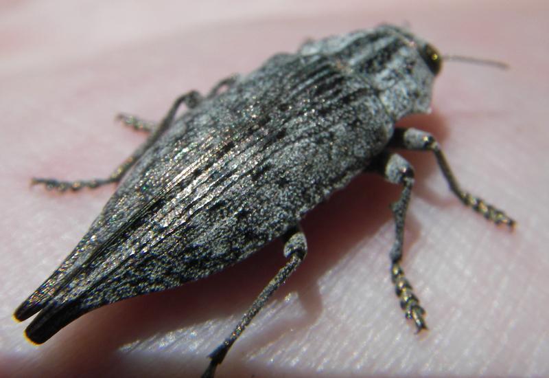 Metallic Wood Boring Beetle Genus Dicerca Possibly What