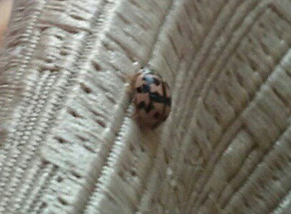 Small Spotted Bug In Bed