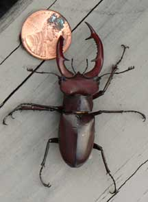 Giant Stag Beetle  Whats That Bug