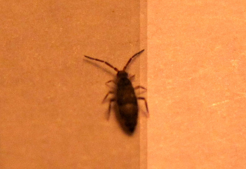 Springtails inside home  Whats That Bug