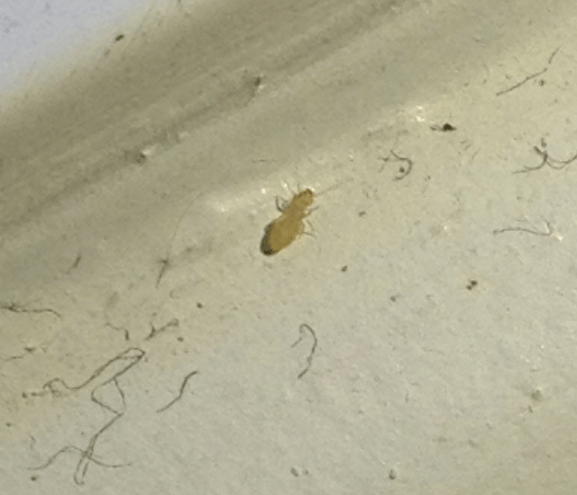 Booklouse in Canada  Whats That Bug