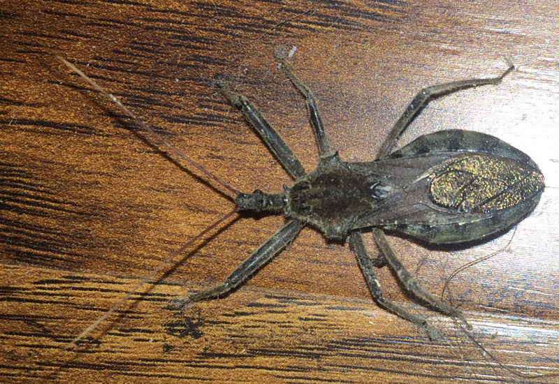 Public Service Message Wheel Bug Is NOT Kissing Bug