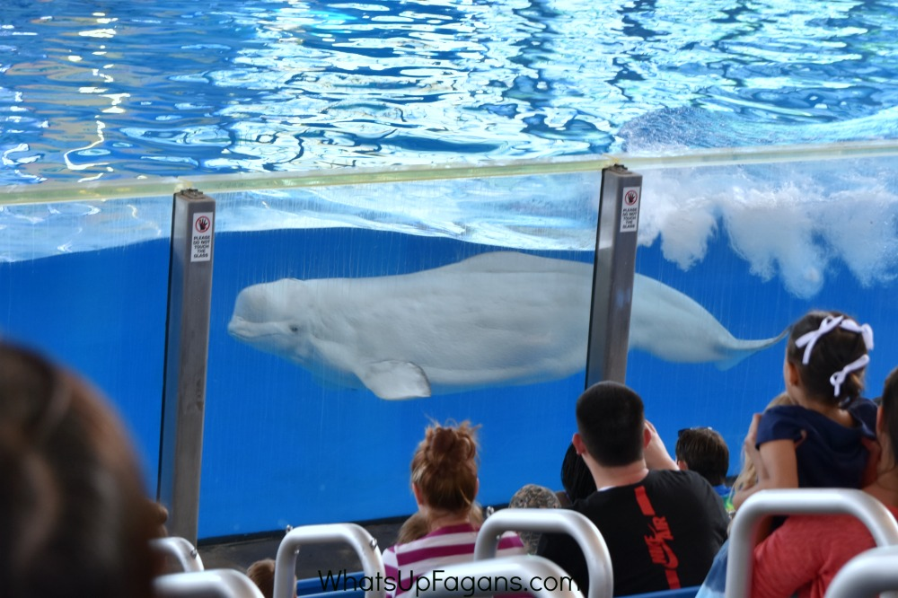 sea world beluga whale show