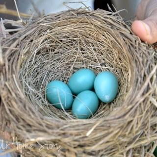Robin's nest, robin'sblue eggs