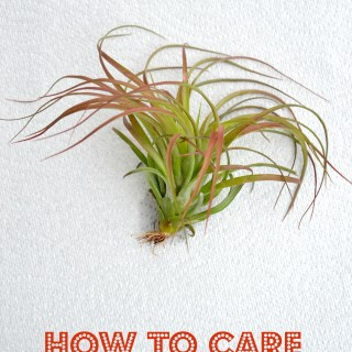 How to care for air plants, grow air plants, air plant care