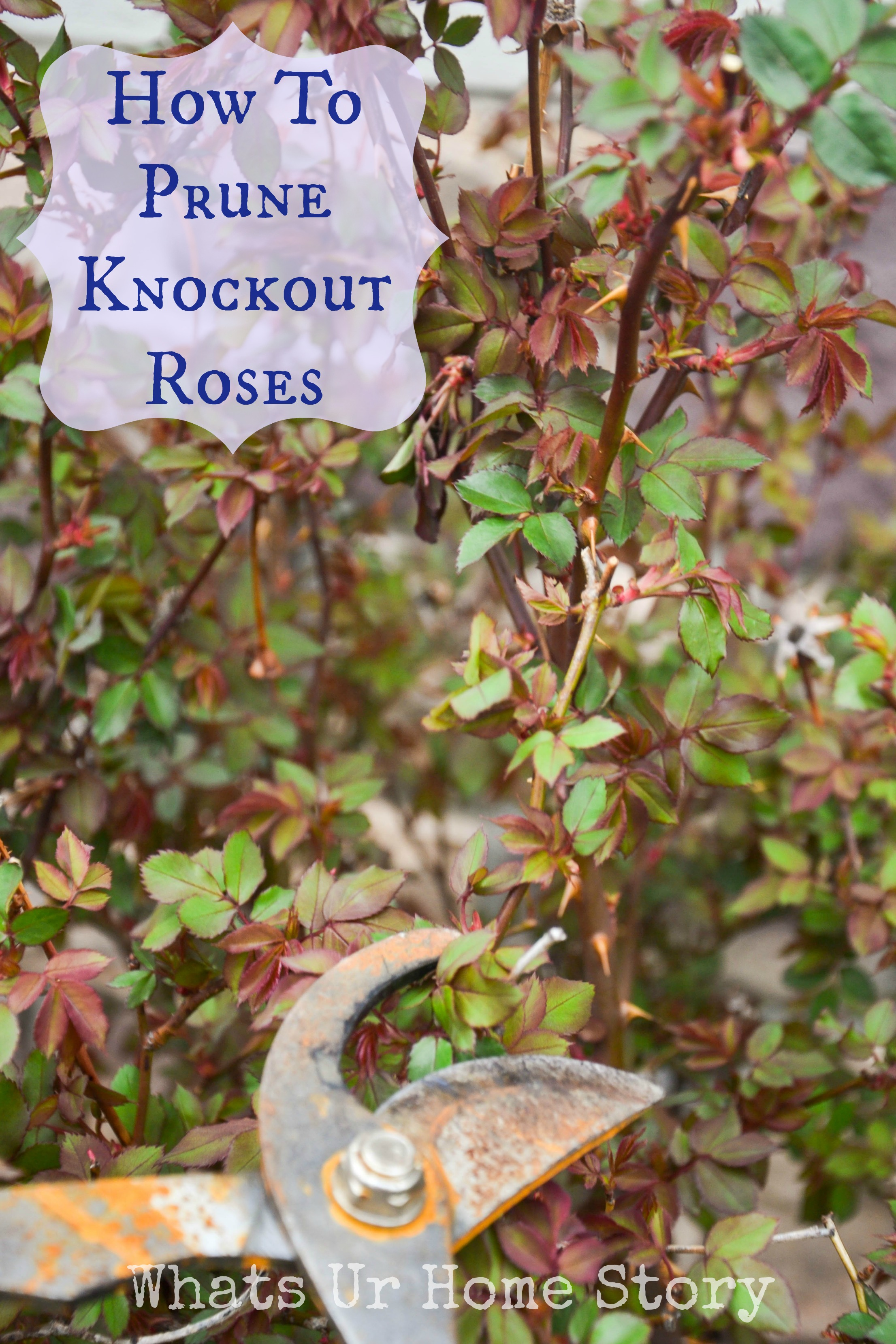How to trim a rose bush - Pruning Knockout Roses