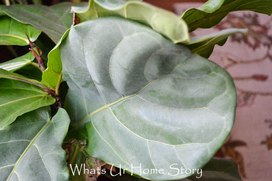 Fiddle Leaf Fig Tree Care