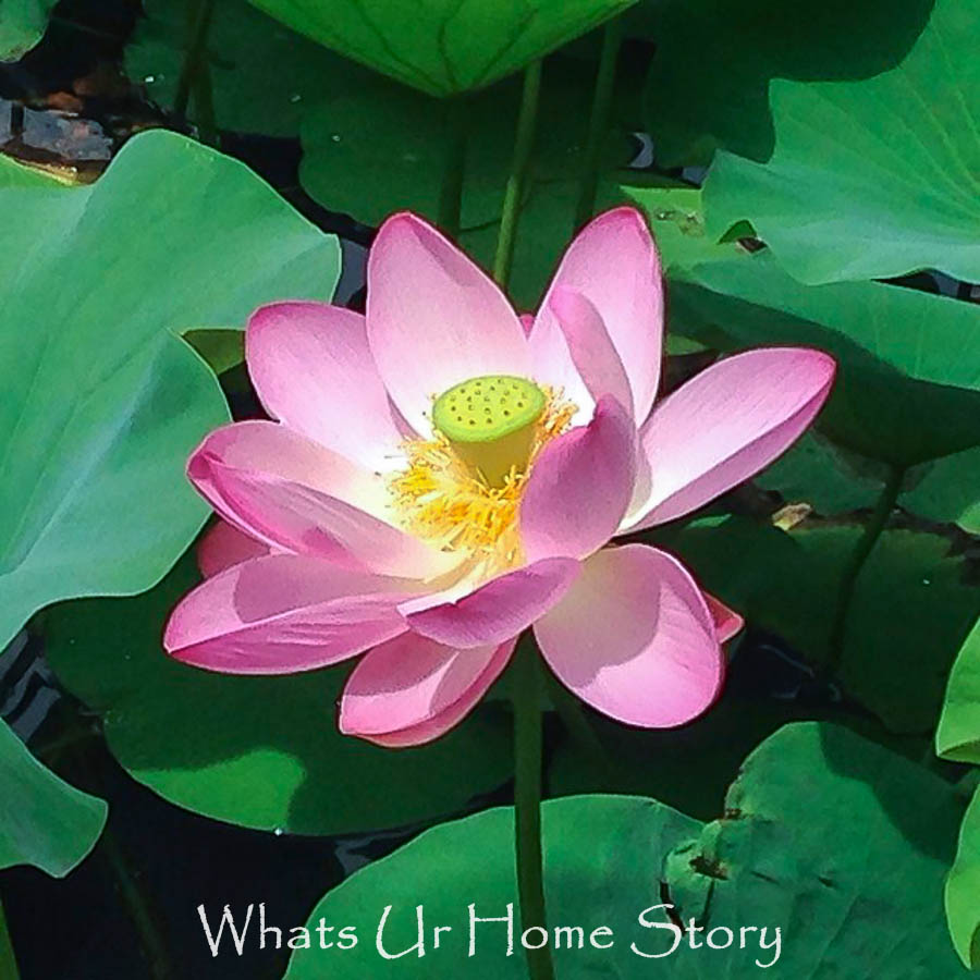Lotus Flowers Winter Care