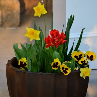 Spring Bulb Lasagna Planter -Tulips, daffodils, pansies