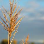 wheat-1322466-1279x1928